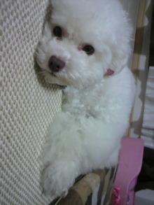 愛犬鈴ちゃん~トイプードル☆ライフスタイル~-2011060919270004.jpg