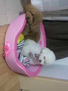愛犬鈴ちゃん~トイプードル☆ライフスタイル~-2011060921040000.jpg