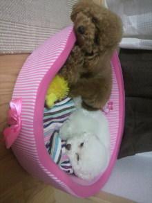 愛犬鈴ちゃん~トイプードル☆ライフスタイル~-2011060921050000.jpg
