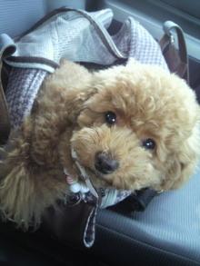 愛犬鈴ちゃん~トイプードル☆ライフスタイル~-2011061415290000.jpg