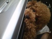 愛犬鈴ちゃん~トイプードル☆ライフスタイル~-2011061416510001.jpg