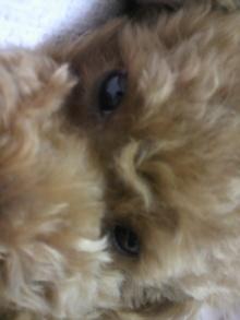 愛犬鈴ちゃん~トイプードル☆ライフスタイル~-2011061500430000.jpg