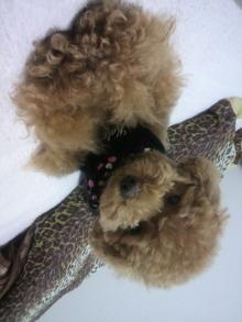 愛犬鈴ちゃん~トイプードル☆ライフスタイル~-2011061500440001.jpg