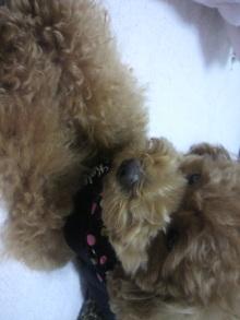 愛犬鈴ちゃん~トイプードル☆ライフスタイル~-2011061500440002.jpg