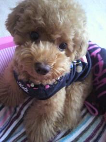 愛犬鈴ちゃん~トイプードル☆ライフスタイル~-2011061512490000.jpg