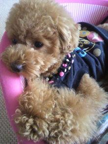 愛犬鈴ちゃん~トイプードル☆ライフスタイル~-2011061512500000.jpg