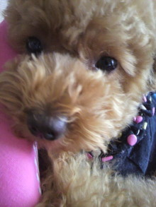 愛犬鈴ちゃん~トイプードル☆ライフスタイル~-2011061512500001.jpg
