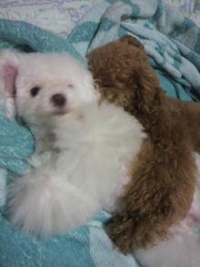 愛犬鈴ちゃん~トイプードル☆ライフスタイル~-2011061623510001.jpg