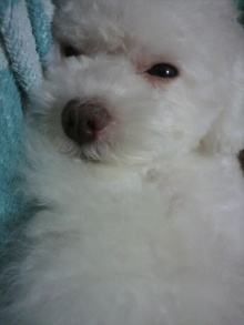 愛犬鈴ちゃん~トイプードル☆ライフスタイル~-2011061623530001.jpg