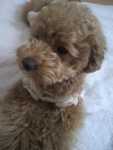 愛犬鈴ちゃん~トイプードル☆ライフスタイル~-2011061809160000.jpg