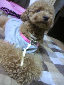 愛犬鈴ちゃん~トイプードル☆ライフスタイル~-2011061818150003.jpg