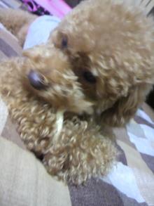 愛犬鈴ちゃん~トイプードル☆ライフスタイル~-2011061818150002.jpg