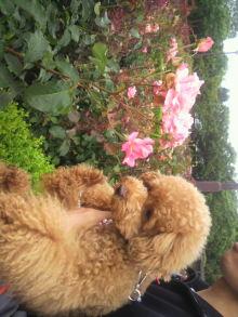 愛犬鈴ちゃん~トイプードル☆ライフスタイル~-2011061910450002.jpg