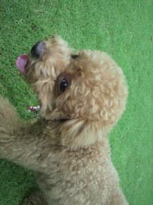 愛犬鈴ちゃん~トイプードル☆ライフスタイル~-2011061910570002.jpg