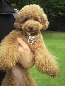 愛犬鈴ちゃん~トイプードル☆ライフスタイル~-2011061911000000.jpg