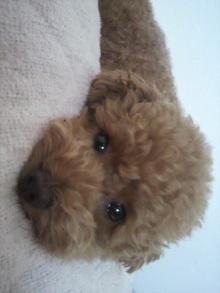 愛犬鈴ちゃん~トイプードル☆ライフスタイル~-2011061914570000.jpg