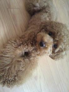 愛犬鈴ちゃん~トイプードル☆ライフスタイル~-2011062014450000.jpg