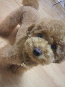 愛犬鈴ちゃん~トイプードル☆ライフスタイル~-2011062118430000.jpg