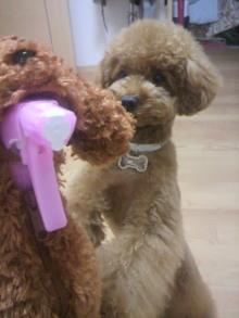 愛犬鈴ちゃん~トイプードル☆ライフスタイル~-2011062122160001.jpg