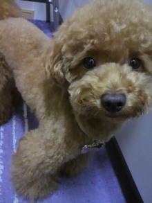 愛犬鈴ちゃん~トイプードル☆ライフスタイル~-2011062119180001.jpg
