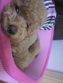 愛犬鈴ちゃん~トイプードル☆ライフスタイル~-2011062209580000.jpg