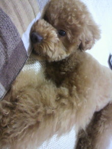 愛犬鈴ちゃん~トイプードル☆ライフスタイル~-2011062209130001.jpg