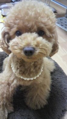 愛犬鈴ちゃん~トイプードル☆ライフスタイル~-2011062513000001.jpg