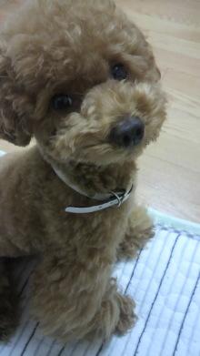 愛犬鈴ちゃん~トイプードル☆ライフスタイル~-2011062520090000.jpg
