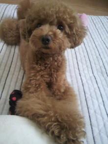愛犬鈴ちゃん~トイプードル☆ライフスタイル~-2011062609530000.jpg