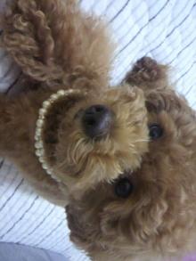 愛犬鈴ちゃん~トイプードル☆ライフスタイル~-2011062619490001.jpg