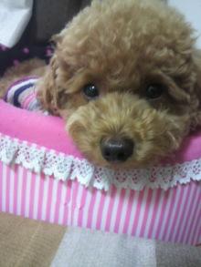 愛犬鈴ちゃん~トイプードル☆ライフスタイル~-2011062714560000.jpg