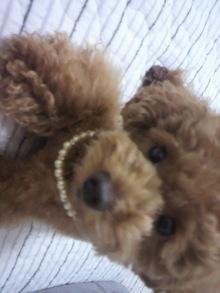 愛犬鈴ちゃん~トイプードル☆ライフスタイル~-2011062619490000.jpg
