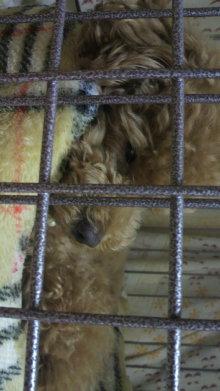 愛犬鈴ちゃん~トイプードル☆ライフスタイル~-2011062716580001.jpg