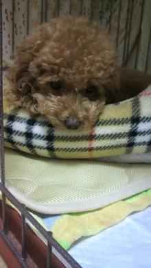 愛犬鈴ちゃん~トイプードル☆ライフスタイル~-2011062716590000.jpg