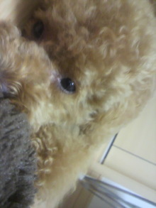 愛犬鈴ちゃん~トイプードル☆ライフスタイル~-2011070221480000.jpg