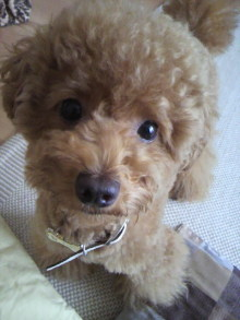 愛犬鈴ちゃん~トイプードル☆ライフスタイル~-2011070408310000.jpg