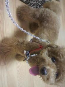愛犬鈴ちゃん~トイプードル☆ライフスタイル~-2011071218450000.jpg