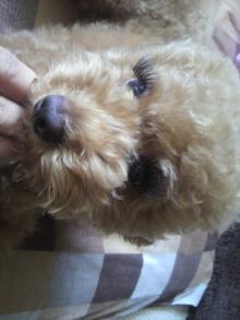 愛犬鈴ちゃん~トイプードル☆ライフスタイル~-2011071312440001.jpg