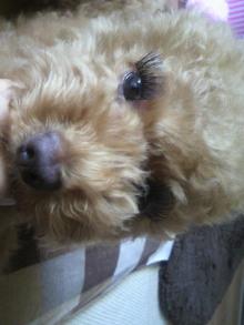 愛犬鈴ちゃん~トイプードル☆ライフスタイル~-2011071312430001.jpg