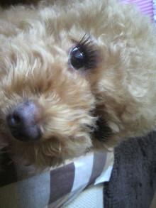 愛犬鈴ちゃん~トイプードル☆ライフスタイル~-2011071312440000.jpg