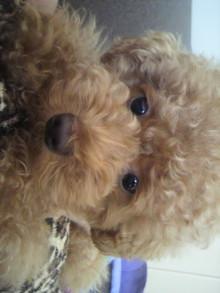 愛犬鈴ちゃん~トイプードル☆ライフスタイル~-2011071416380000.jpg