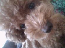 愛犬鈴ちゃん~トイプードル☆ライフスタイル~-2011071416390001.jpg