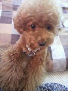 愛犬鈴ちゃん~トイプードル☆ライフスタイル~-2011071509390000.jpg