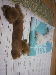 愛犬鈴ちゃん~トイプードル☆ライフスタイル~-2011071600320000.jpg