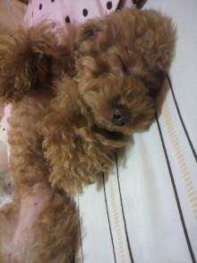 愛犬鈴ちゃん~トイプードル☆ライフスタイル~-2011071600360001.jpg