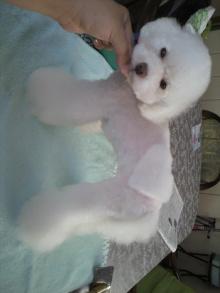 愛犬鈴ちゃん~トイプードル☆ライフスタイル~-2011071615470000.jpg