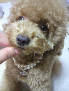 愛犬鈴ちゃん~トイプードル☆ライフスタイル~-2011072821090000.jpg