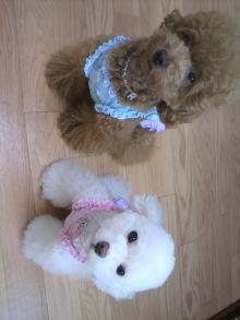 愛犬鈴ちゃん~トイプードル☆ライフスタイル~-2011072908480000.jpg