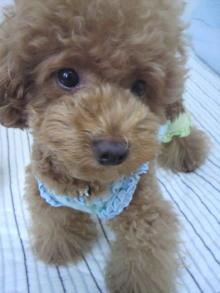 愛犬鈴ちゃん~トイプードル☆ライフスタイル~-2011072908530000.jpg