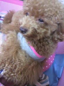 愛犬鈴ちゃん~トイプードル☆ライフスタイル~-2011080118260001.jpg